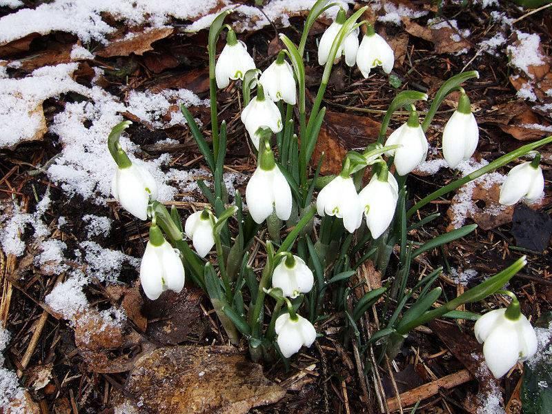 Цветы садовые подснежники: фото видов и сортов, посадка и уход за подснежниками