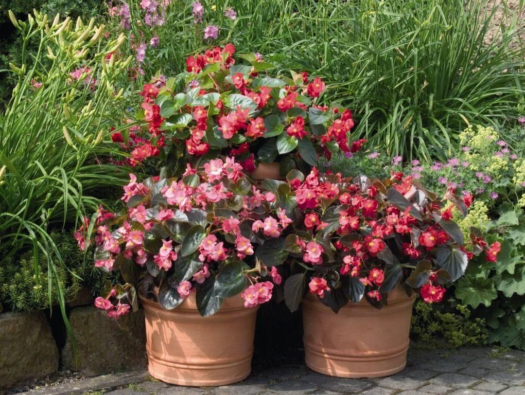 Посадка и уход за газанией (гацанией) (25 фото): выращивание цветка в открытом грунте и в домашних условиях. как сажать в саду и в горшках?