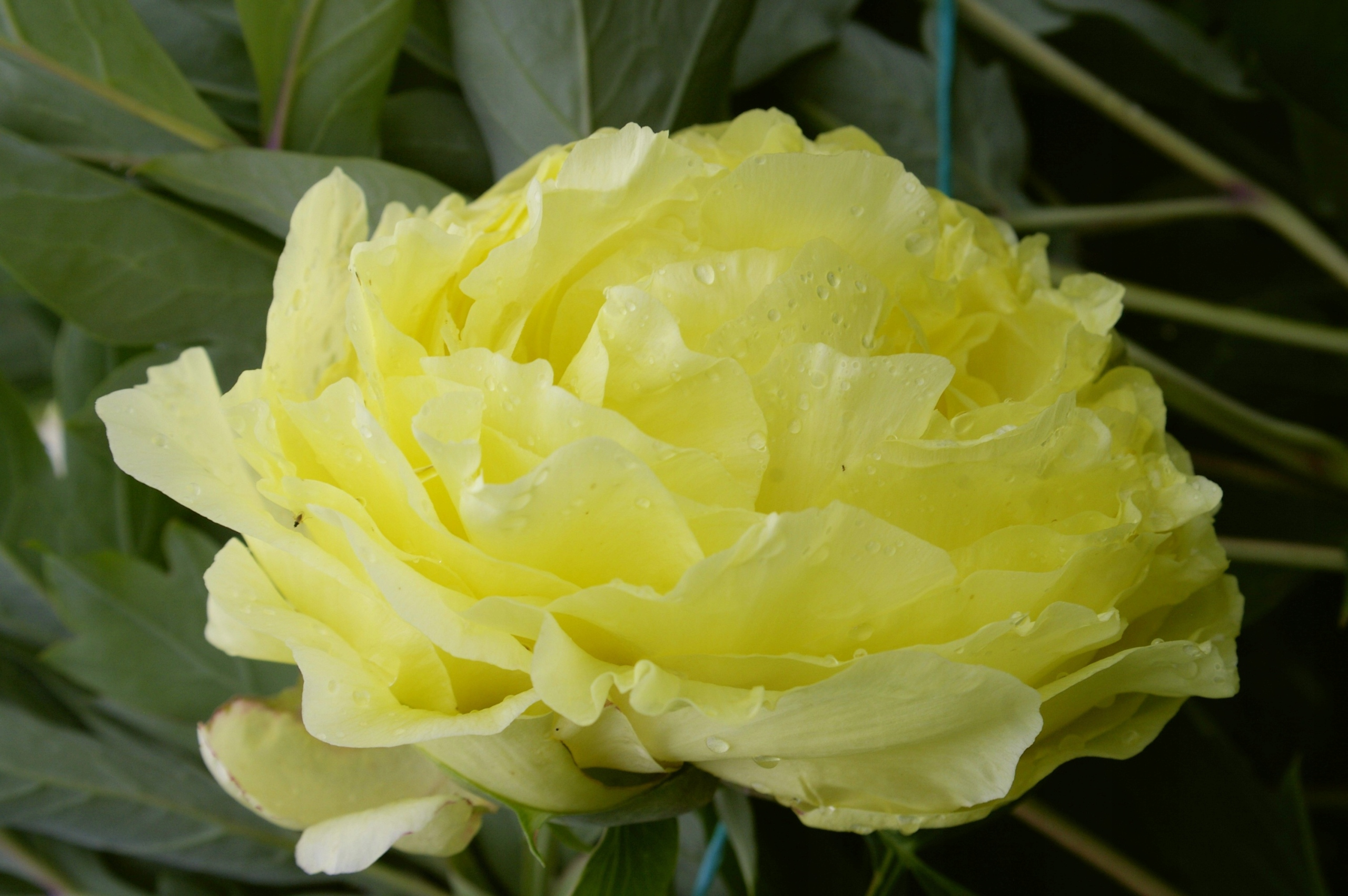 Описание пиона лемон шиффон: особенности ухода за сортом лимон на садовом участке