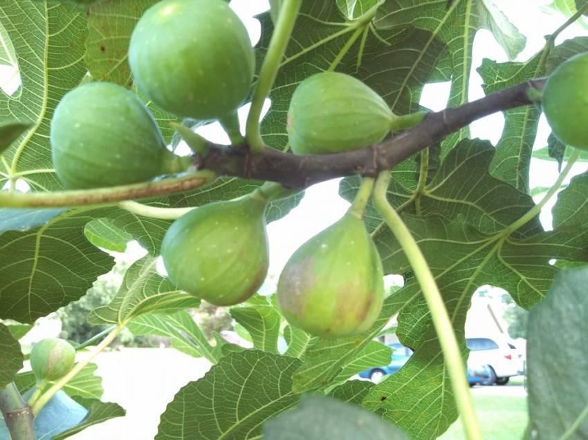 Фиговое дерево: инжировый плод и выращивание растение