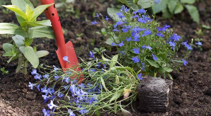 Цветы лобелия — фото, виды, выращивание, посадка и уход