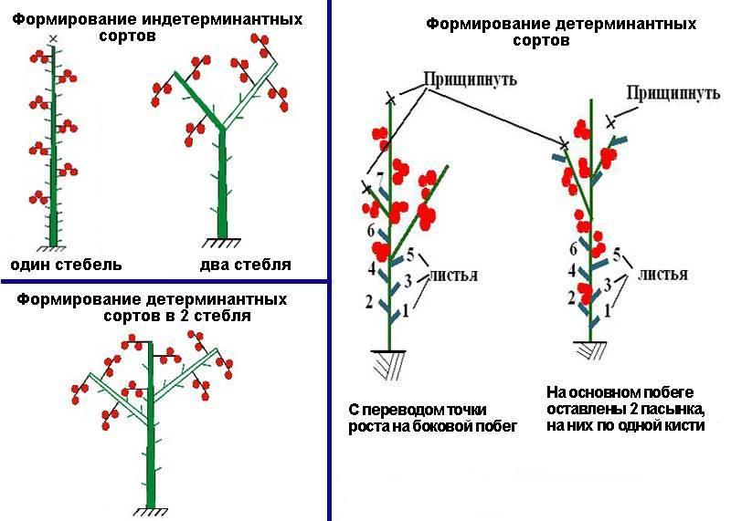 Правила формирования куста георгинов в открытом грунте: пасынкование и прищипывание