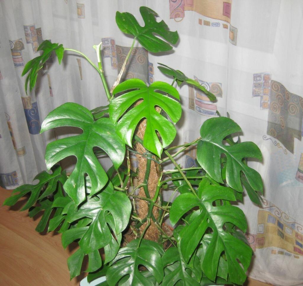 Комнатное растение монстера, уход, полив, размножение и болезни