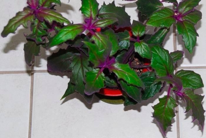 Цветок гинура: уход в домашних условиях
