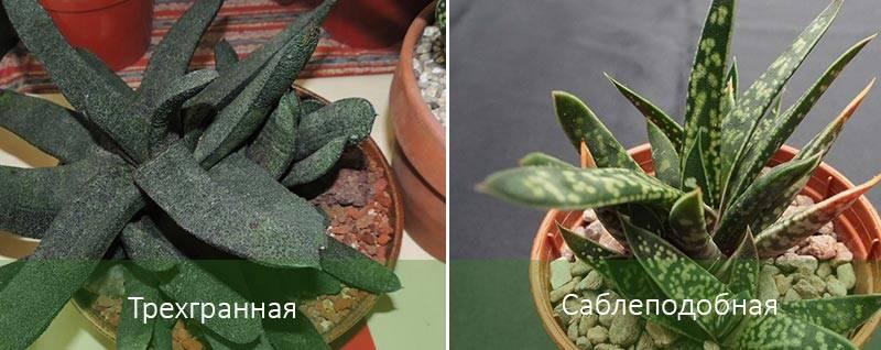 Комнатные растения гастерия и хавортия