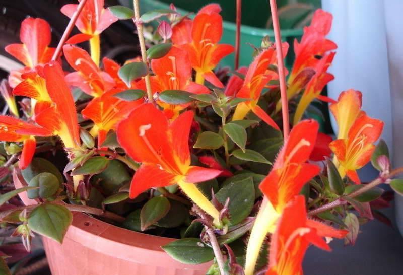Колумнея: уход за яркой тропиканкой в домашних условиях
