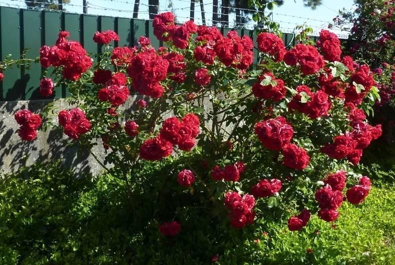 Роза эрик таберли (eric tabarly)