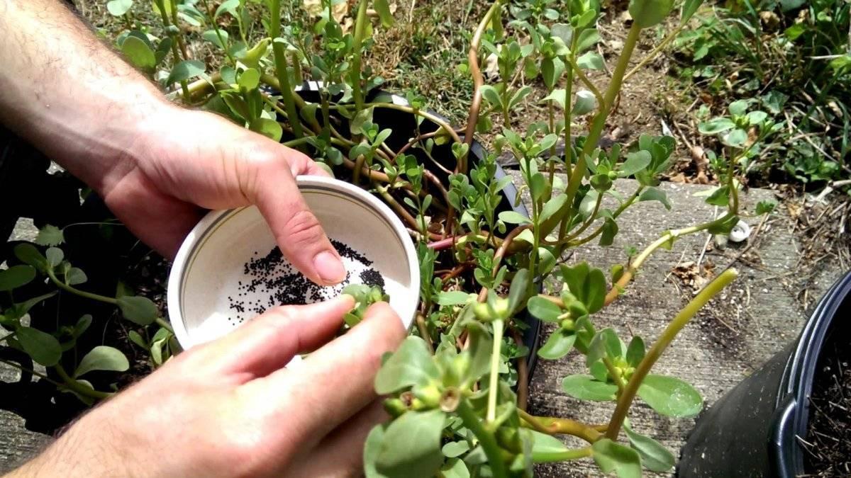 Портулак выращивание из семян, когда сажать на рассаду