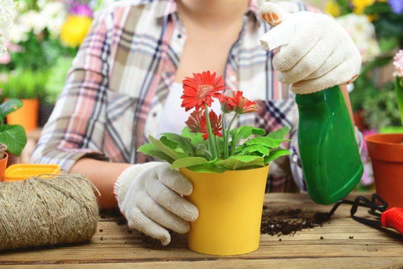 Бегония элатиор — уход выращивание в домашних условиях