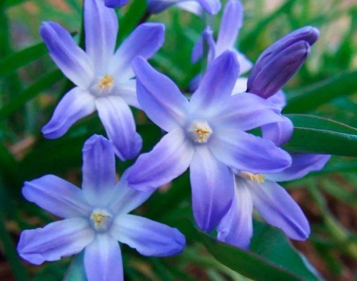Виды и сорта хионодоксы для посадки в открытом грунте: форбса, sardensis и другие