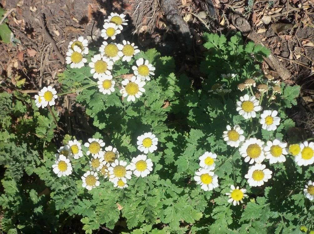 Персидская ромашка или пиретрум: посадка и уход в открытом грунте, фото травянистого многолетнего растения с нежными цветками
