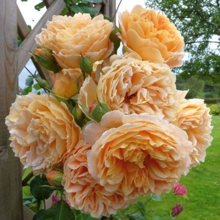 Роза английская парковая краун принцесс маргарет