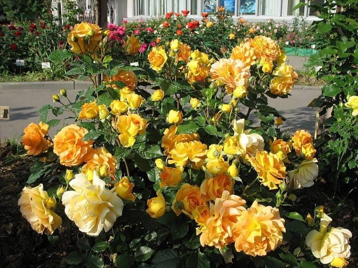 Описание повторноцветущего сорта розы гольдэльзе: особенности флорибунды, уход