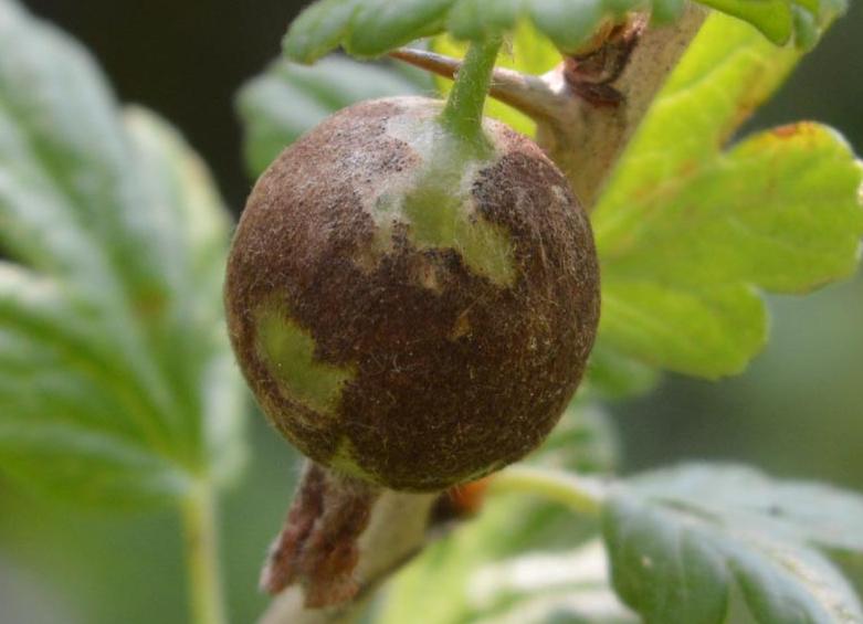 Чем обрабатывать крыжовник от мучнистой росы: народные средства и химические препараты
