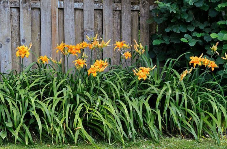 Посадка лилейников (22 фото): как сажать в открытый грунт осенью, весной и летом? выбор лучшего места. на каком расстоянии садить?
