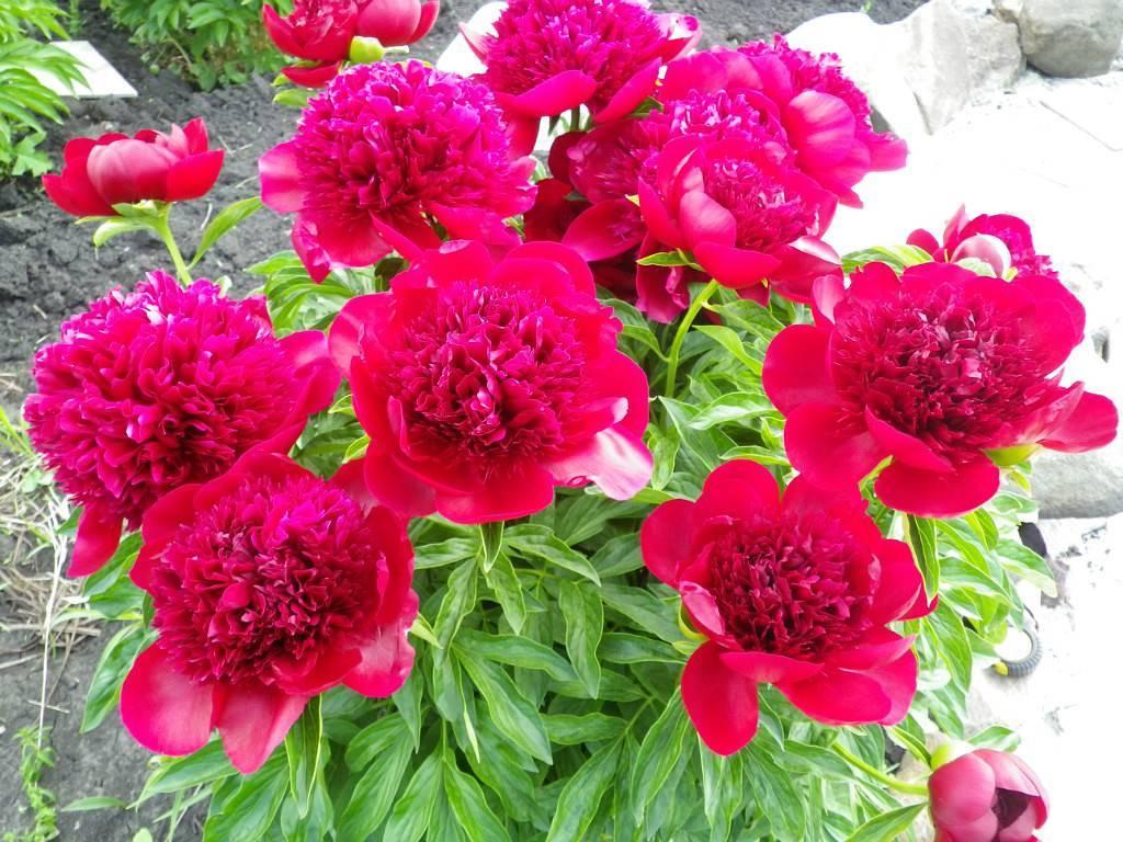 Описание пиона ред чарм: особенности ухода за сортом шарм на садовом участке