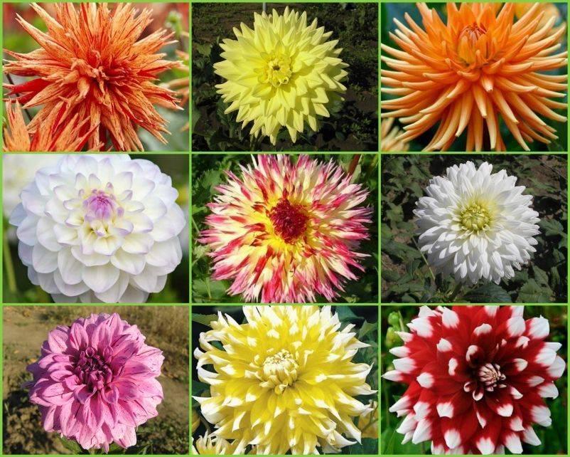 Георгины (58 фото): как выглядят цветы? особенности посадки и ухода в открытом грунте. когда доставать клубни для проращивания?