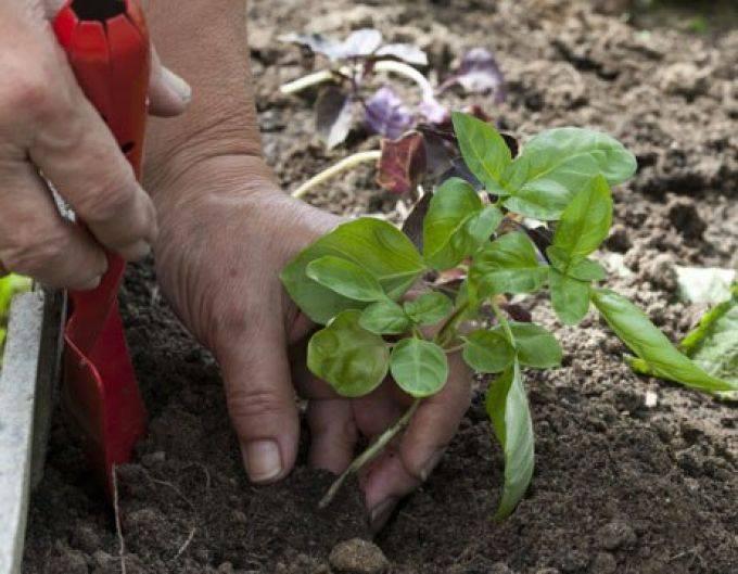 Посадка мелиссы при выращивании в открытом грунте на даче весной: фото сортов этой травы, советы, как правильно выбрать семена, когда и как проводить посев в огороде