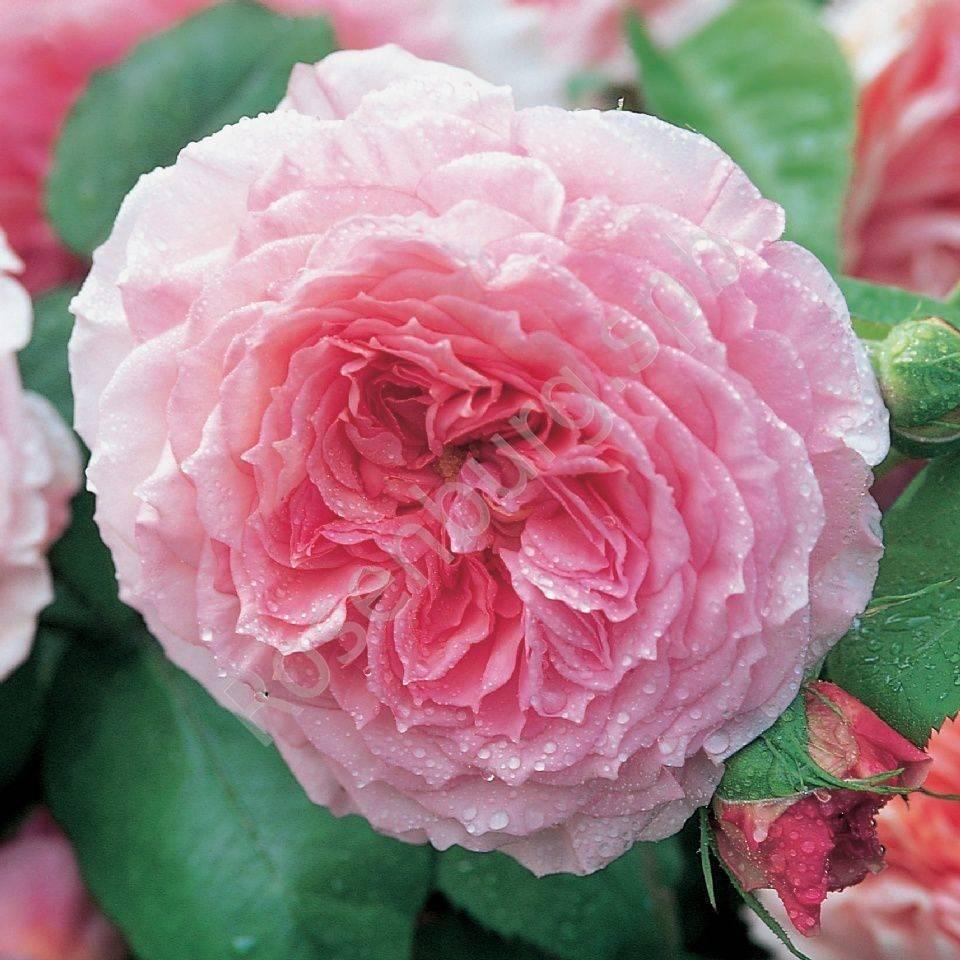Как ухаживать за английской розой пэт остин: правила посадки, цветение и обрезка