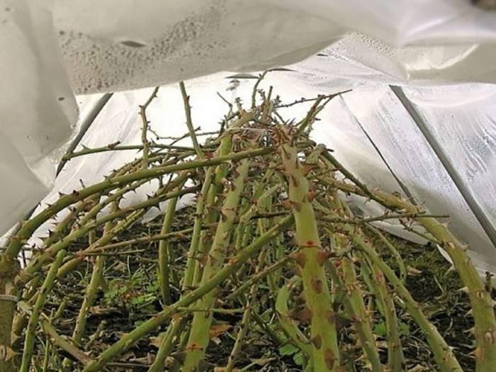 Гортензия после зимы: не растет, сухая, не просыпается, не распускается и другие проблемы. как оживить? как выглядит?