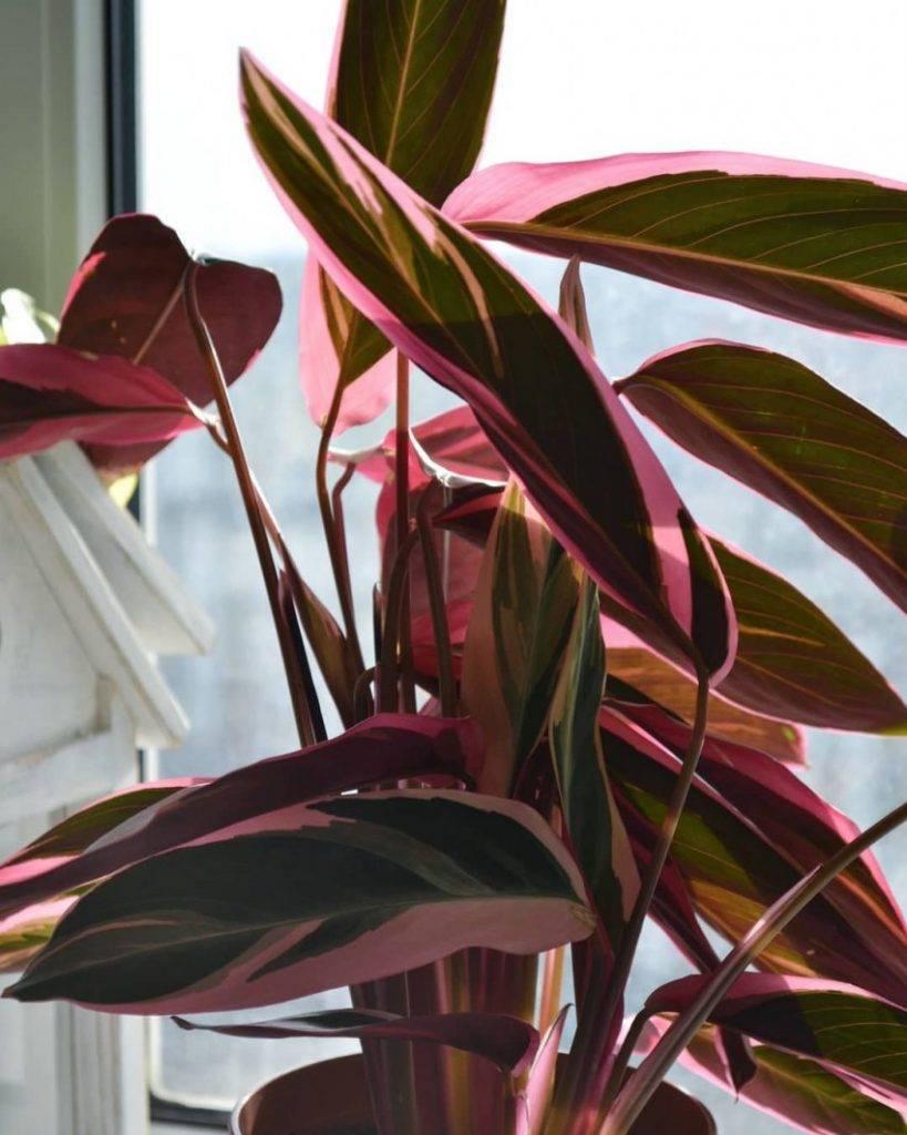 Строманта — уход в домашних условиях и размножение