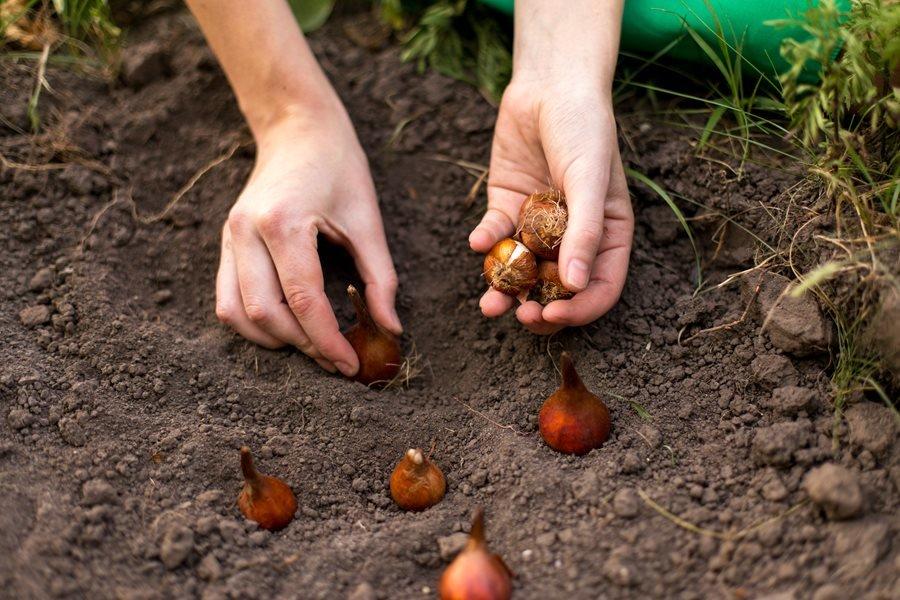 Тюльпаны - посадка и уход в открытом грунте осенью (когда сажать, советы)
