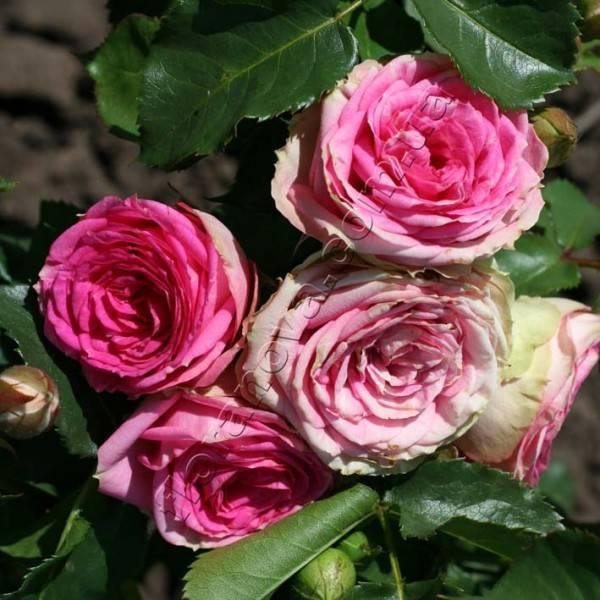 Плетистые розы: уход, выращивание в открытом грунте, укрытие на зиму и обрезка растений