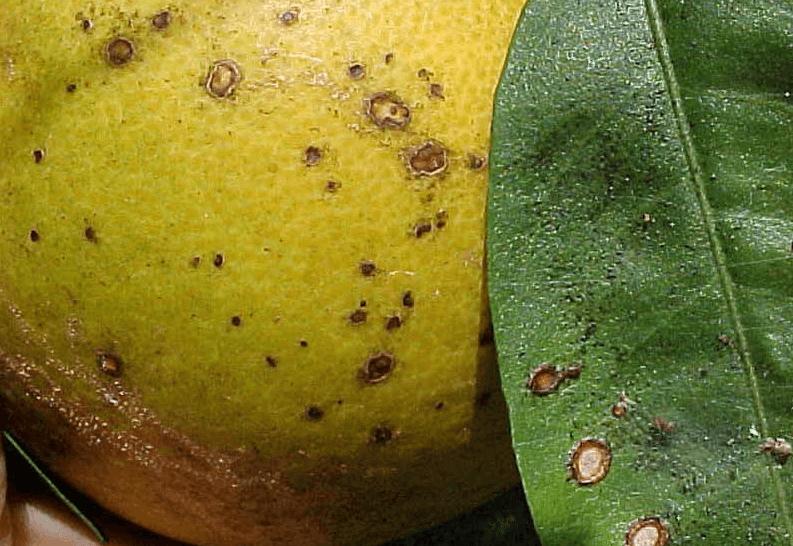 Болезни лимона домашнего — причины и лечение