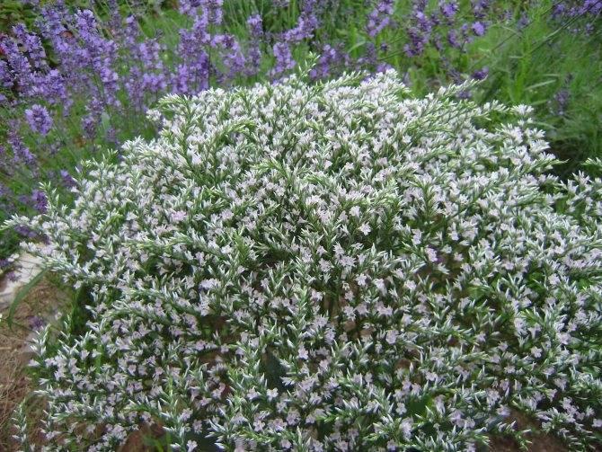 Статице: выращивание из семян - подробная инструкция!