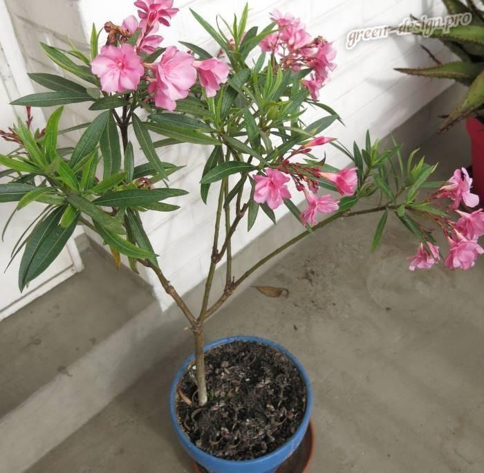 Олеандр: выращивание и уход в домашних условиях. особенности и рекомендации