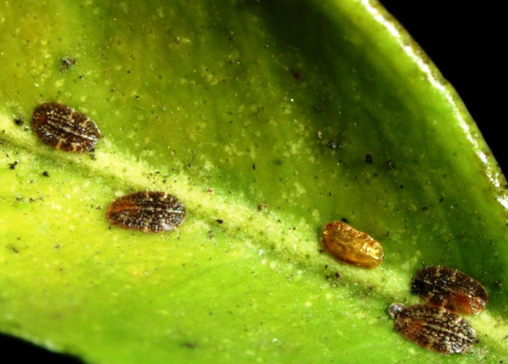 Рекомендации, как бороться со щитовкой на комнатных растениях; фото вредителя