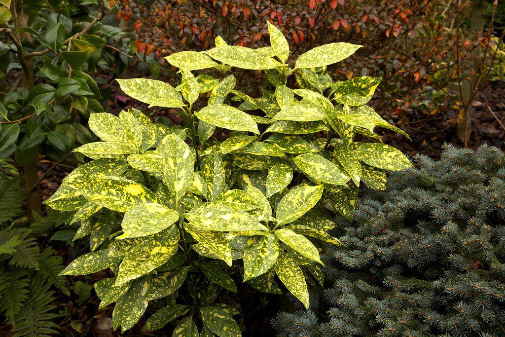 Аукуба японская (aucuba japonica) — уход в домашних условиях
