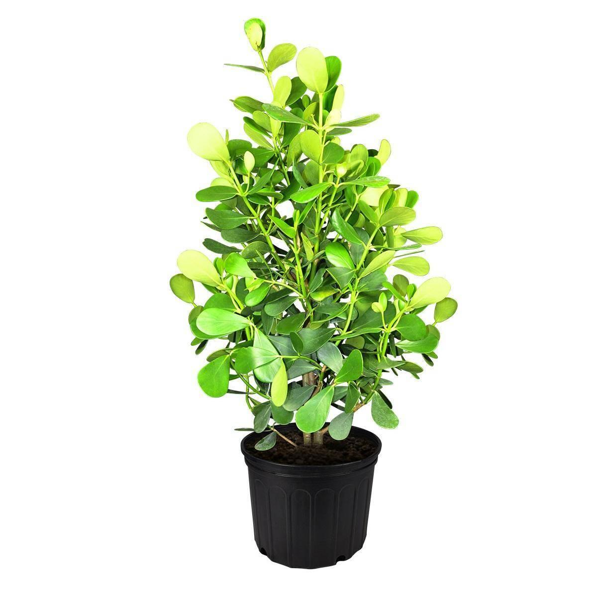 Комнатное растение клузия