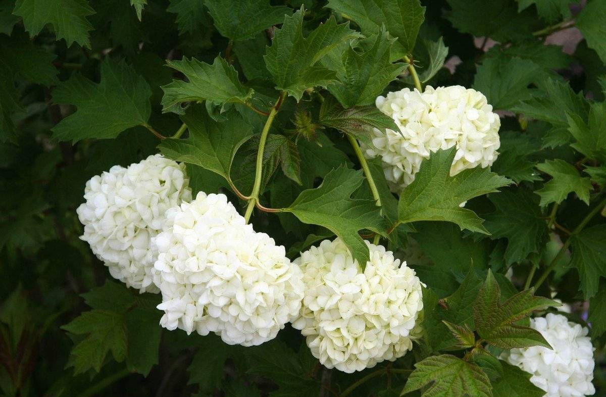 Декоративная калина бульденеж – белоснежное чудо в вашем саду