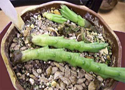 Выращивание, уход и размножение стапелии в домашних условиях