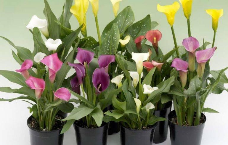 Цветы каллы. выращивание в саду: сроки посадки, особенности ухода