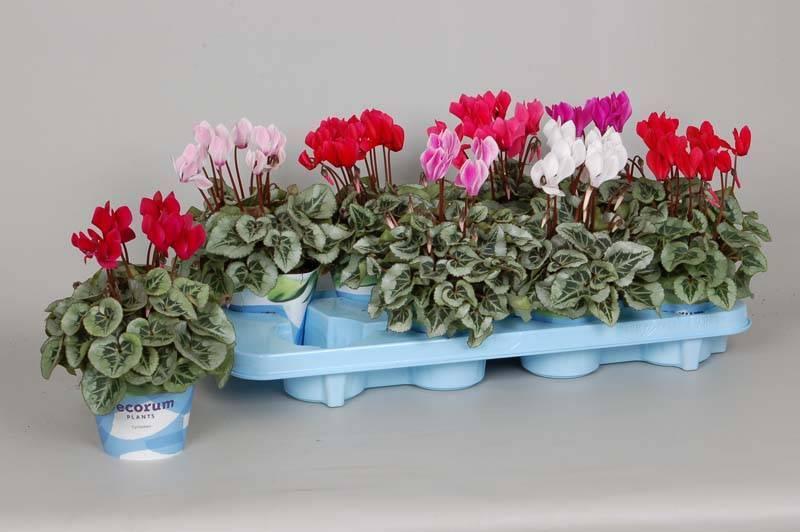Выращивание цикламена из семян в домашних условиях: как посадить пошагово