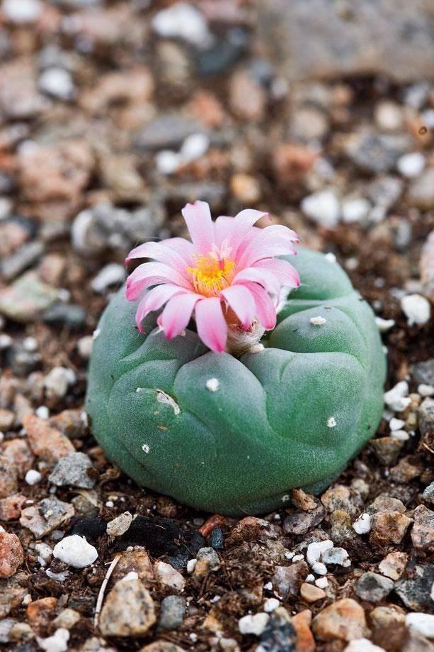Выращивание опунции инжирной: как посадить, ухаживать, удобрять, размножать