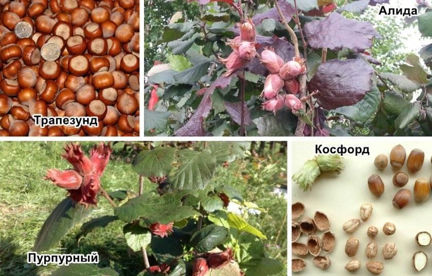 Сравнение орехов — фундука и лещины