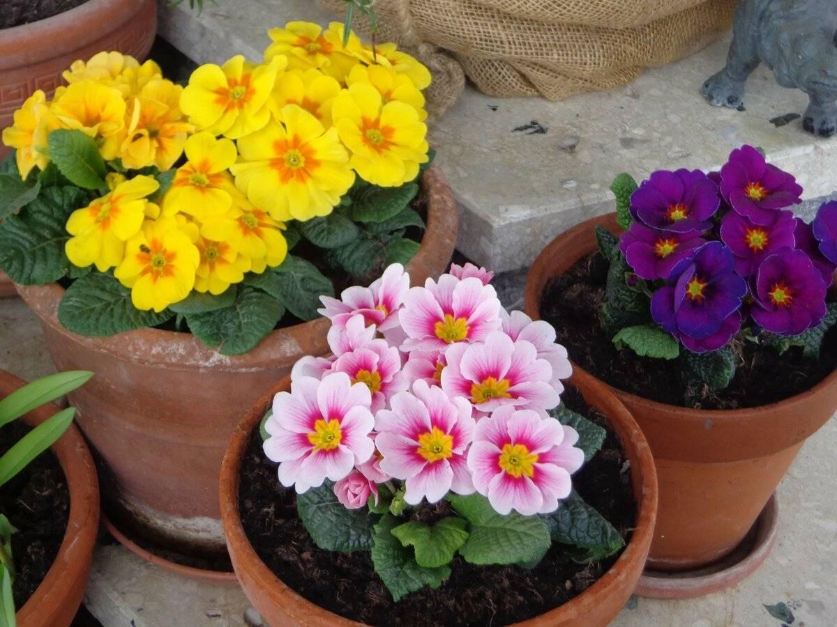 Как и когда рассаживать садовую примулу, а также что нужно знать о размножении и уходе?