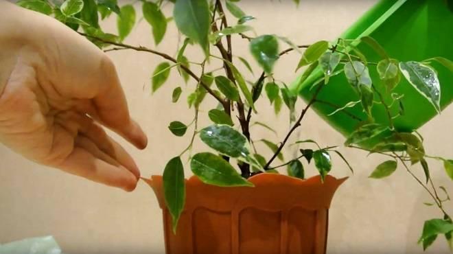 Как посадить фикус бенджамина в домашних условиях?