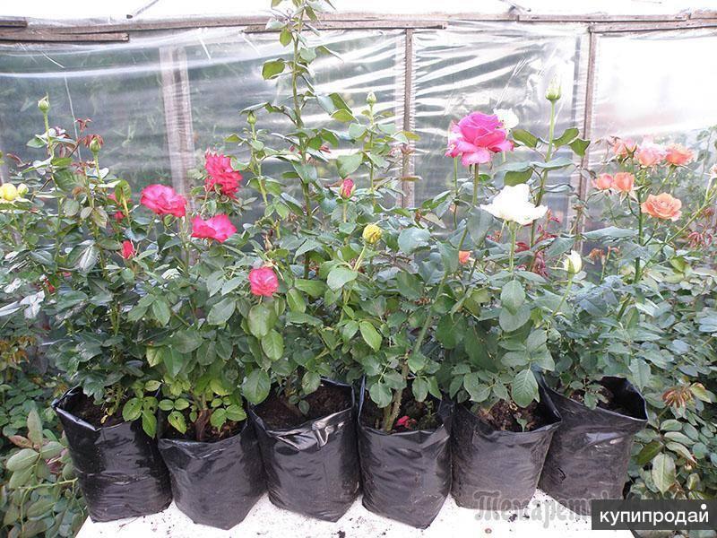 Чай каркаде: польза и вред для женщин и мужчин. отзывы об употреблении красного чая из суданской розы. польза и вред чая каркаде