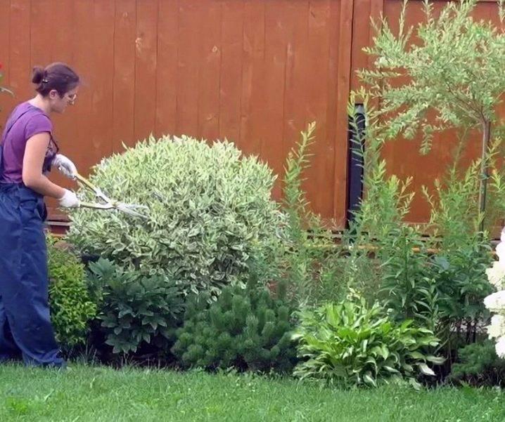 Выращивание бугенвиллии в саду: полив, обрезка и многое другое
