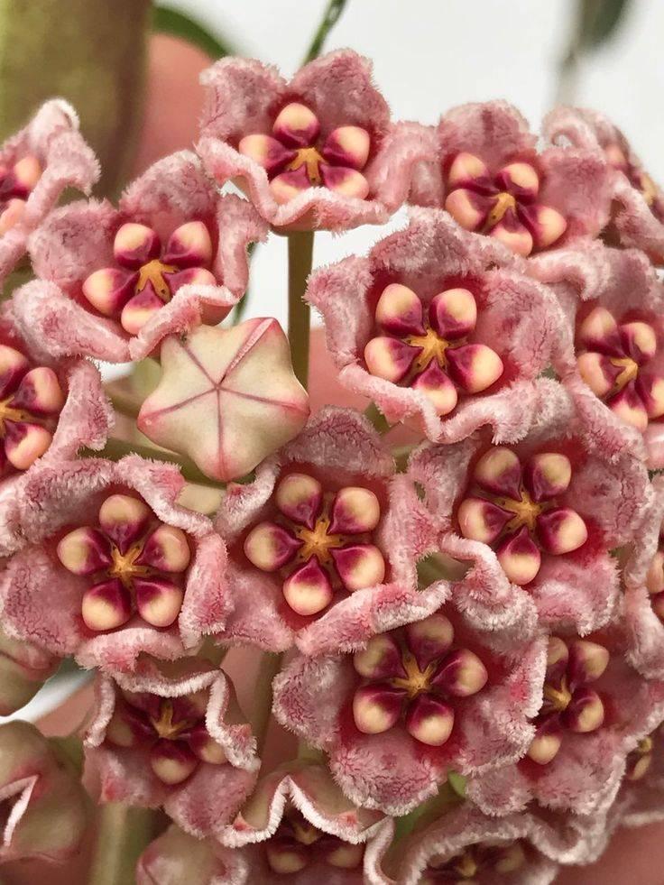 Красивый цветок хоя: можно ли держать его дома