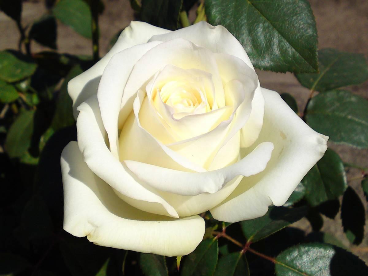 Выращивание чайно-гибридной белой розы анастасия: описание срезочного сорта