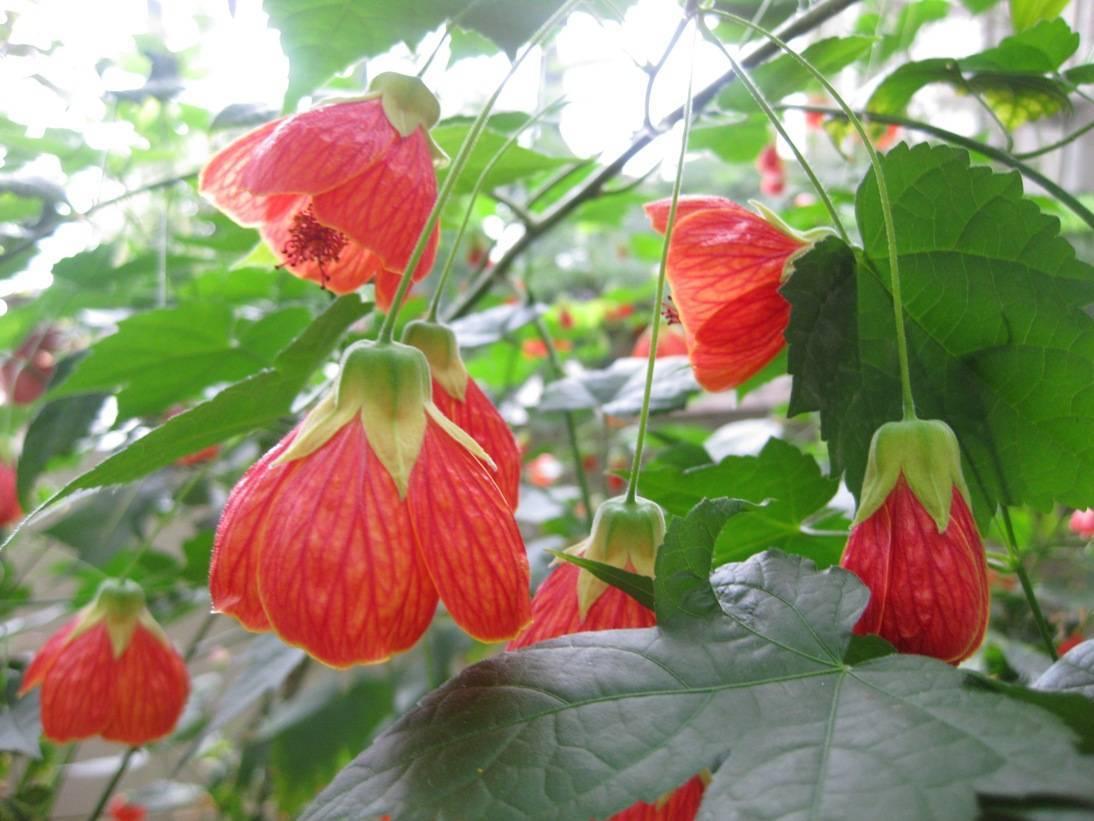 Комнатный клен абутилон: фото, выращивание из семян