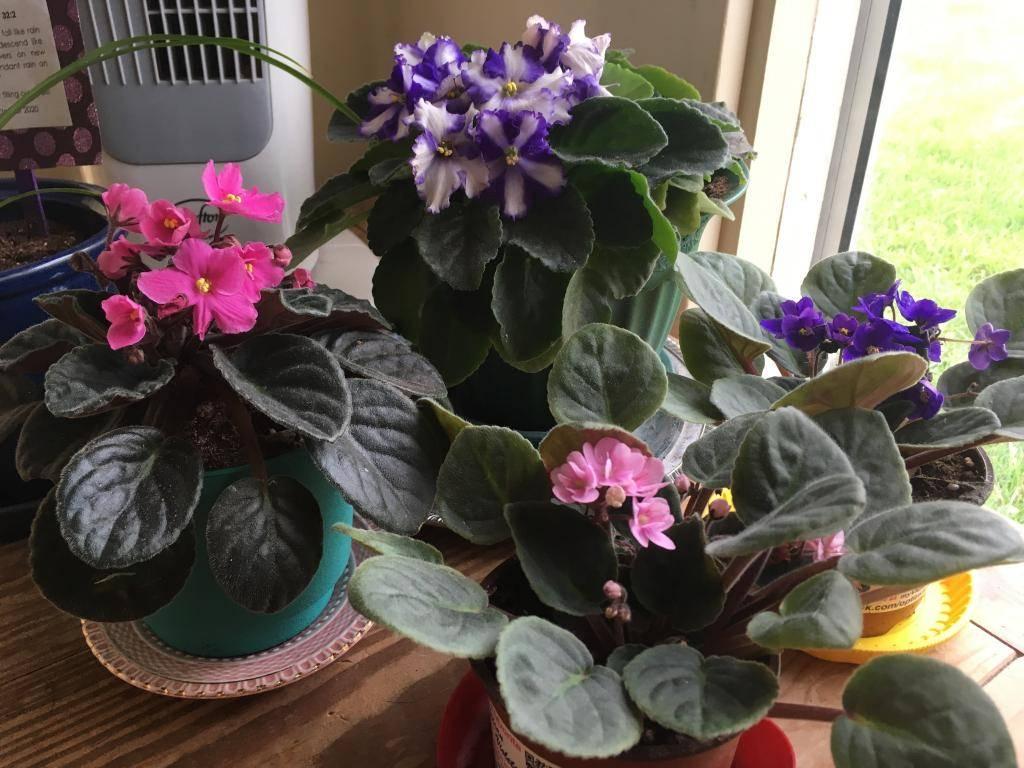Почему не цветут фиалки — как заставить цвести?