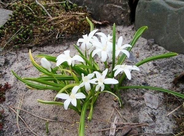 Хионодокса — снег и слава: посадка и уход в открытом грунте