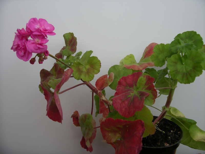 Болезни герани: листья и цветы опадают, зелени мало, мелкая, чернеет, не растёт  и почему это бывает, что делать, можно или нет предупредить, как выглядит на фото?
