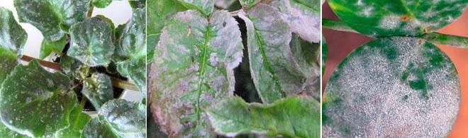 Вредители рассады петуньи: грызут листья